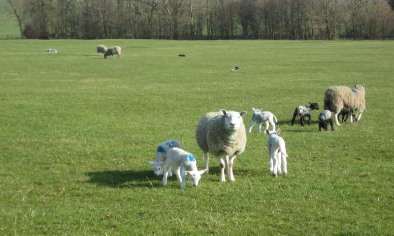 Newton Grange lambs