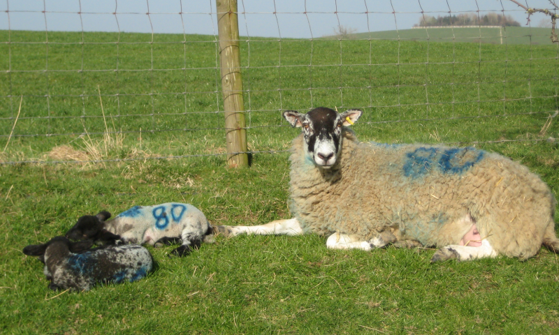 Sheep and lambs in the sun