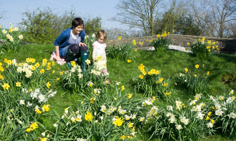 Daffodil Bank at Newton Grange