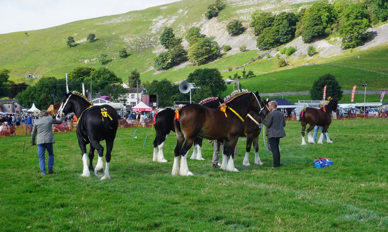 Shire Horse Judging