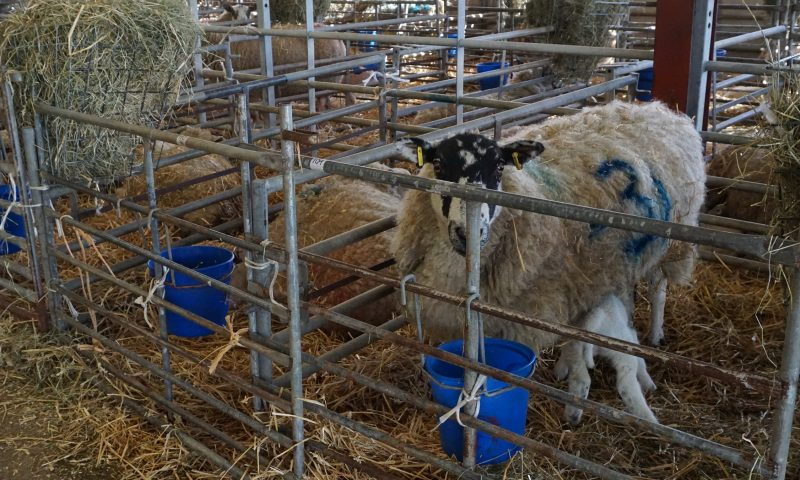 Sheep in Bank Newton