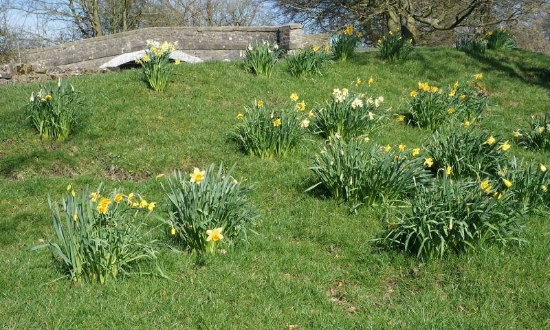Daffodils in Bank Newton