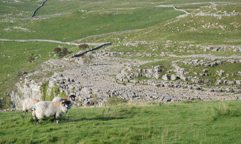 Swaledale Sheep and Limestone Pavement